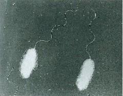 腸炎ビブリオ菌